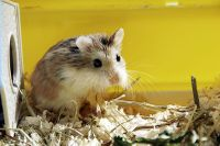 Family: Animals: Hamsters