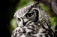 Family: Animals: Owls