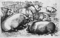 Character: Boar / Pig (Generic)