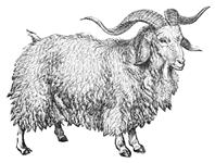 Character: Goat / Sheep (Generic)